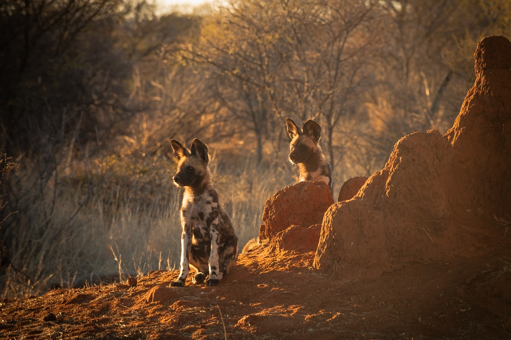 Wild dogs are frequent visitors to Madikwe's many lodges